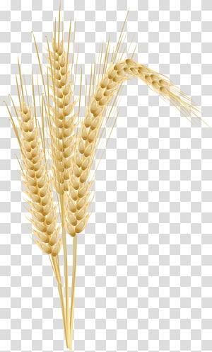 gandum, Jagung rebus Jagung Telinga Gandum, gandum png