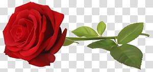 , Mawar Merah dengan Batang, bunga mawar merah png