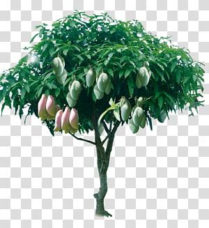 ilustrasi pohon mangga, Pohon Mangga, Pohon mangga berbuah png