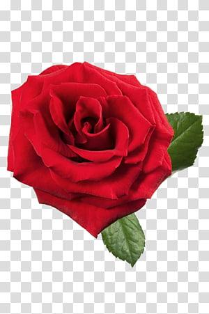 mawar merah, mawar merah, mawar merah besar png