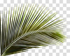 Arecaceae Leaf Palm branch Areca palm, Green coconut leaf, green palm leaf png