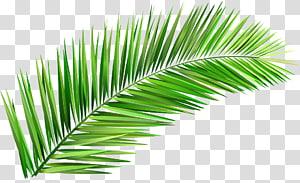 daun hijau, Arecaceae Pohon Kelapa, Tanah Liat, Daun png