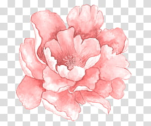 Bunga merah muda Lukisan cat air, Bunga cat air merah muda mekar penuh, ilustrasi bunga peony merah muda png