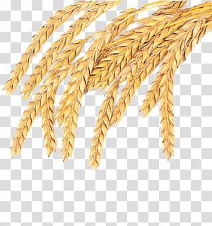 tanaman gandum, Emmer Spelt Sereal gandum Biasa Gandum utuh, gandum matang di desa CaoYing png