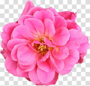 pink petaled flower, Garden roses Kubis rose Bunga potong Floribunda, Flores Mexicanas png