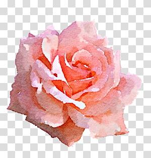 mawar merah muda dalam lukisan mekar, Light Rose Pink, cat air naik png
