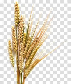 Beer Stout Sereal gandum umum, Latar Belakang gandum, tanaman gandum png