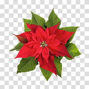 Poinsettia Natal menanam Bunga, natal png