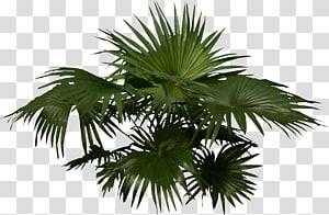 Arecaceae Woody menanam Pohon, Kelapa Sawit png