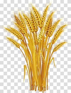 ilustrasi rumput gandum, Telinga Gandum, panen gandum Kuning png