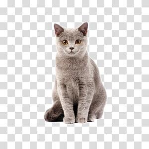 Hubungan Kucing-Anjing Shorthair Inggris Kucing makanan, Kucing, kucing abu-abu berambut pendek png