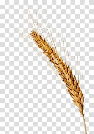 ilustrasi gandum merah, Beer Spelt Barley Ear Cereal, barley png