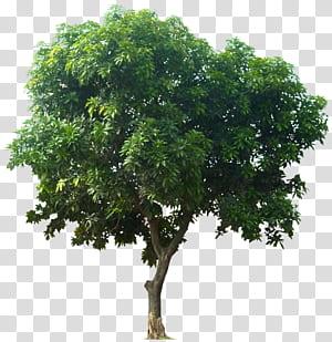 Mangifera indica Pohon buah, Ikon Tree, pohon berdaun hijau png
