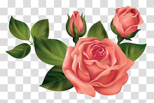 tiga mawar merah, Mawar, Mawar png