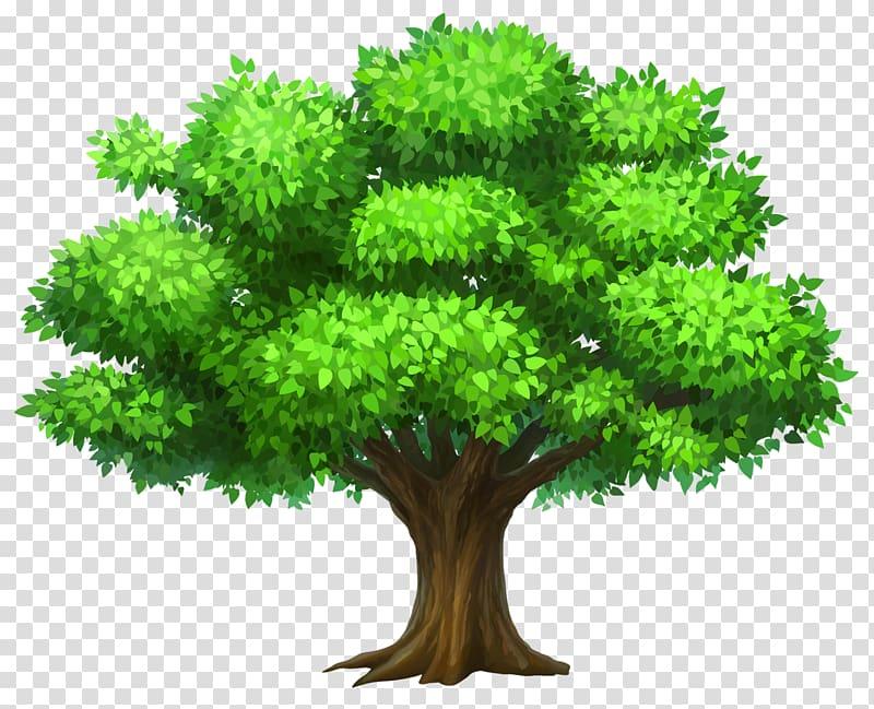 Pohon Oak, Pohon Oack, pohon hijau png