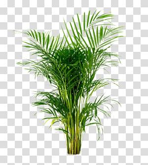 Ilustrasi telapak tangan Madagaskar, Areca palm Arecaceae Houseplant Tanaman hias, tanaman pot png
