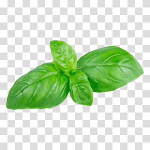 Holy Basil Herb Leaf Grafik Jaringan Portable, Leaf png