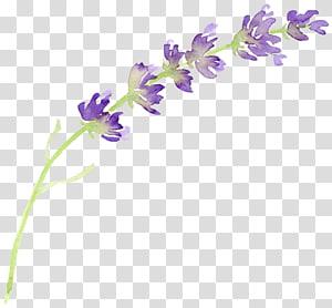 ilustrasi bunga ungu, lukisan cat air Bunga lavender Inggris, lavender png