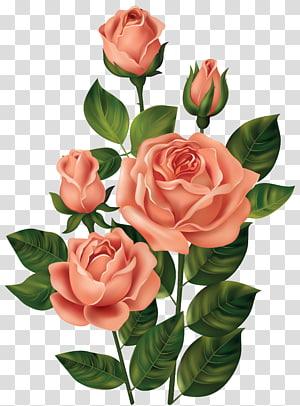ilustrasi bunga mawar merah muda, Mawar, Mawar png