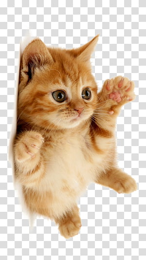 kucing kucing oranye, Kucing imut PNG clipart
