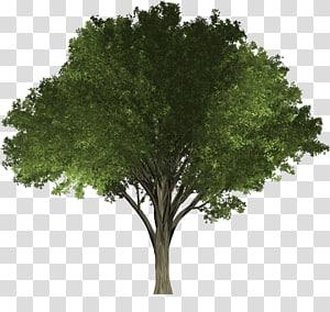 Pohon Elm Woody menanam Oak, naungan pohon png