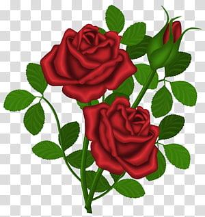 Mawar Merah, Mawar Merah, ilustrasi mawar merah png