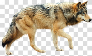 Serigala Anjing Arktik Coyote, Sign Wolf PNG clipart