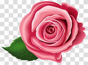 , Rose, ilustrasi mawar merah png