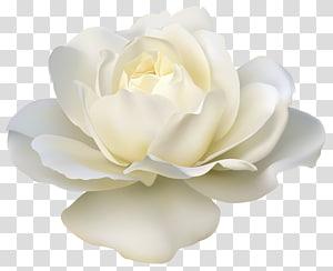 Mawar Putih, Mawar Putih Cantik, ilustrasi mawar putih png