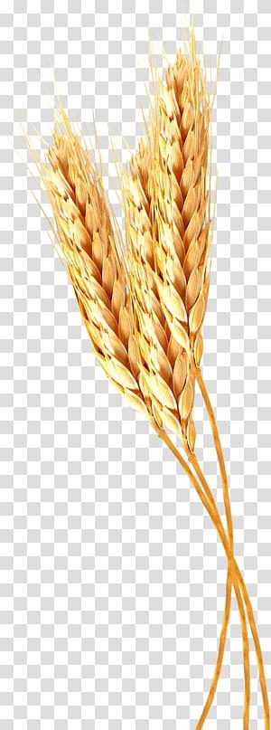 gandum coklat, Emmer Durum Spelt Einkorn wheat Pasta, telinga png