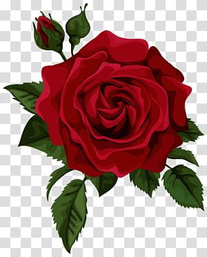 Bunga Mawar Merah Euclidean, Mawar Merah dengan Bud, ilustrasi mawar merah png