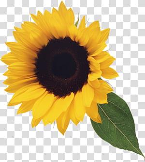 , Bunga Matahari dengan Daun, bunga matahari dengan daun hijau png
