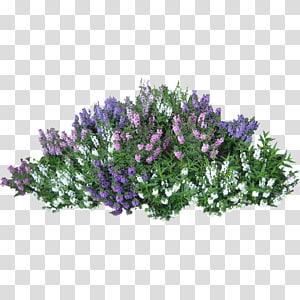 Semak Tanam Pohon, Semak, ungu, putih, dan merah muda bunga petaled png