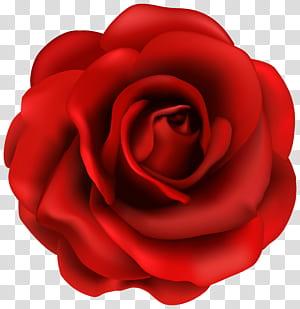 Bunga Mawar, Bunga Mawar Merah, ilustrasi mawar merah png
