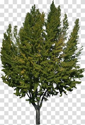 Pohon Woody menanam Cemara Cemara, Semak png