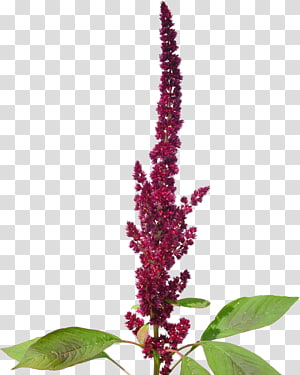 amaranthaceae amaranthus cruentus menanam biji bayam, tanaman png