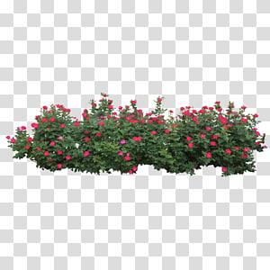 Centifolia roses Shrub Tree, Rose Bush, bunga petaled pink png