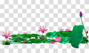 ilustrasi bunga merah muda, Lotus Pond Nelumbo nucifera, Lotus PNG clipart