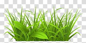 , Rumput Hias, tanaman daun hijau png