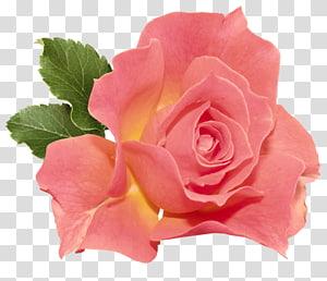 Bunga Mawar Oranye, Mawar Oranye, mawar merah muda png