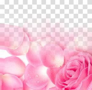 Taman mawar Pink Petal, Pink Rose Petal Poster Latar Belakang Jaringan Hari Valentine png