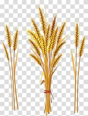 Sereal gandum biasa Telinga, gandum png