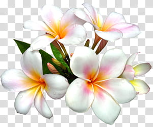 Bunga Putih, Bunga Putih Besar, bunga kamboja putih Plumeria oranye PNG clipart
