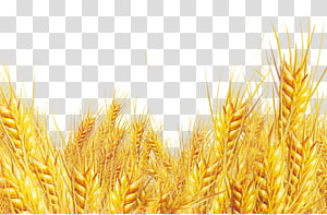 perbatasan gandum, Oat bran Emmer Durum, gandum gandum emas gandum png