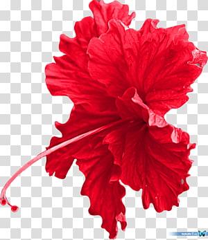 ilustrasi bunga kembang sepatu merah, Bunga potong Mallows Hibiscus Carnation, aksesori png