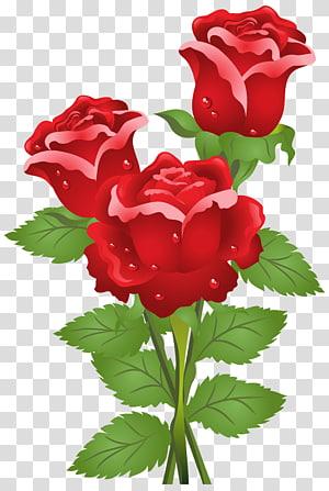 Kupu-kupu Bunga Mawar Langit, Mawar, tiga mawar merah png