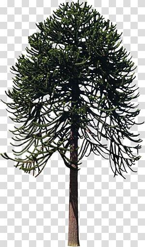 Pohon Woody menanam Twig Larch, semak-semak png