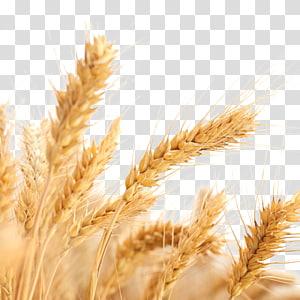 fokus selektif dari gandum, Alergi gandum umum. Panen Sereal Gandum, Gandum png