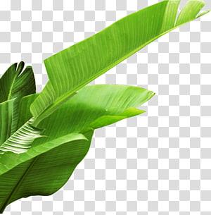 Daun pisang, daun pisang, daun pisang hijau png
