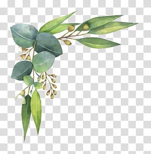 Eucalyptus polyanthemos Lukisan Cat Air Ilustrasi, Daun Cat Air, daun hijau dengan latar belakang putih png